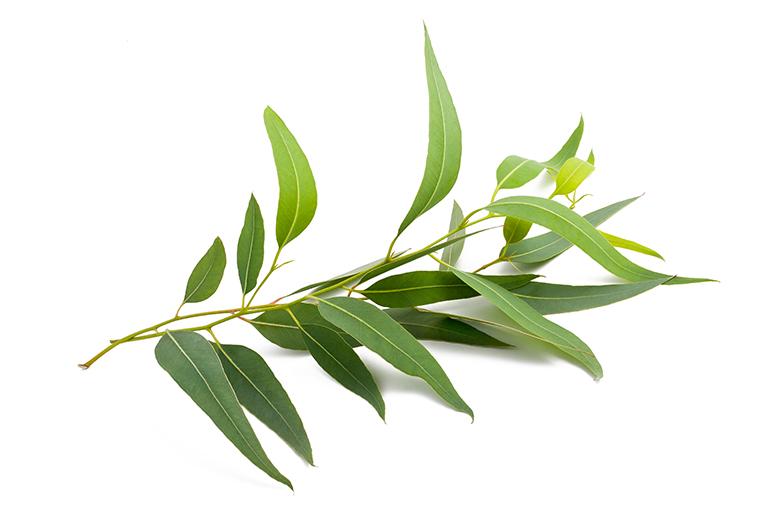 eucaliptus ricos manjares