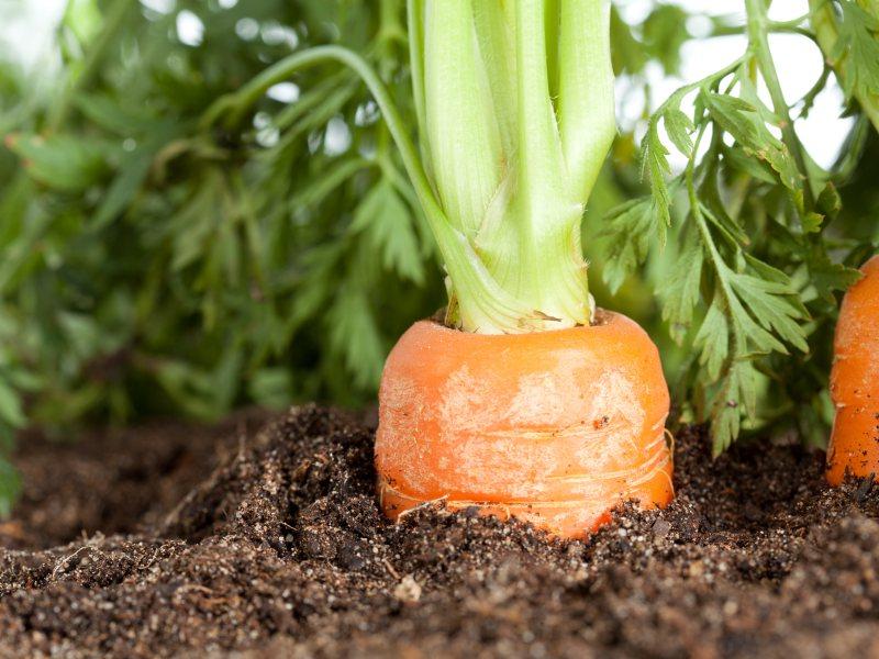 zanahoria-ricosmanjares
